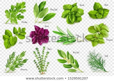 Zsálya gyógynövény levelek levél márvány izolált Stock fotó © marilyna