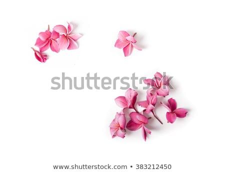 frangipani flowers isolated stock photo © irisangel