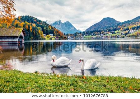 néma · hattyú · úszik · tavacska · szépség · fehér - stock fotó © konturvid