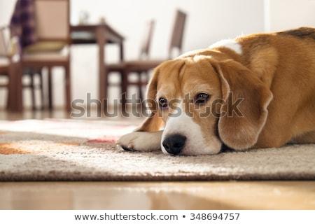 Cute chien couché seuls blanche animaux Photo stock © wavebreak_media