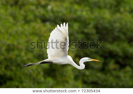 white egret in flight  Stock photo © mady70