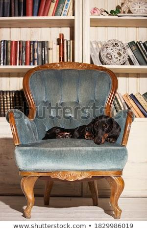 Dachshund portrait in the black photo studio Stock photo © vauvau