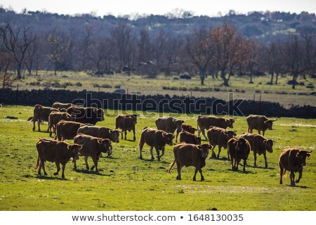 Stock photo: Cows grazing in Extremadura Dehesa Spain