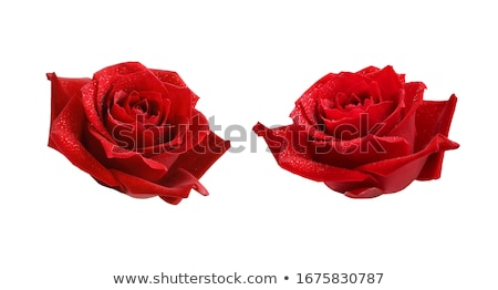Closeup single red rose with drops of dew Stock photo © Valeriy