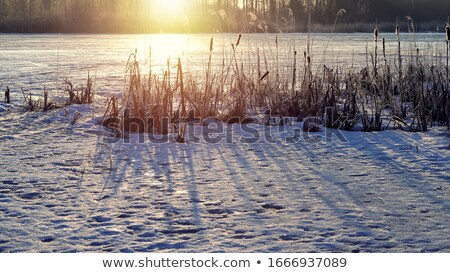 Withered reeds at the snowy shore of a frozen lake Stock photo © Mps197