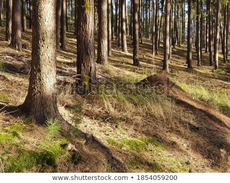 Ladin orman yüzey arka plan karıncalar Stok fotoğraf © Mps197