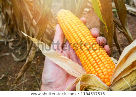 Man holding a corn on the cob Stock photo © IS2