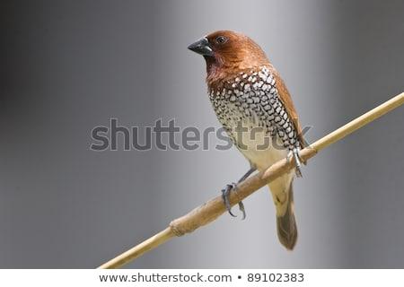 Scaly-breasted munia (Lonchura punctulata) Stock photo © dirkr