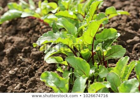 kırmızı · pancar · büyüyen · sebze · bahçe · derin - stok fotoğraf © virgin