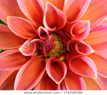 abstact natural flower background with a dahlia blossom stock photo © manfredxy