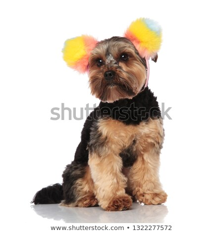 cute yorkshire terrier wearing colorful ears headband looks to s Stock photo © feedough