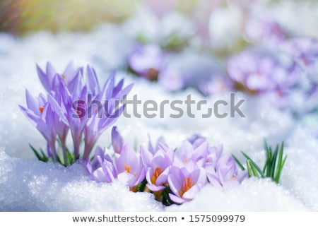 spring crocuses under snow Stockfoto © neirfy