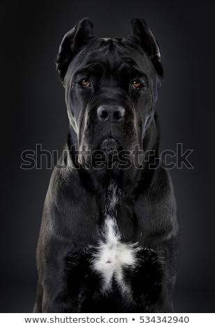 Italiaans · bulhond · riet · mooie · jonge · puppy - stockfoto © vladacanon