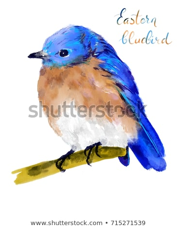 Eastern bluebird or Sialia sialis isolated on white Stock photo © shawlinmohd
