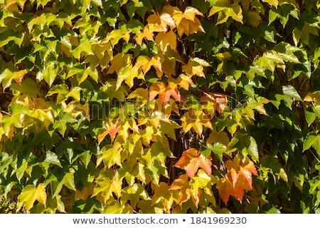 Colorato autunno ivy vecchio muro verde Foto d'archivio © Melvin07