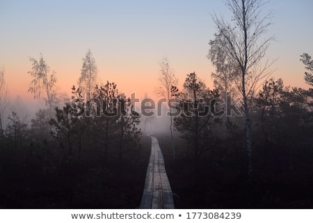 Pathway to Tunnel of Pine Trees  Stock photo © stoonn