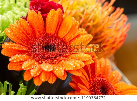 Stock photo: Orange yellow Gerbera extreme close up with water drops