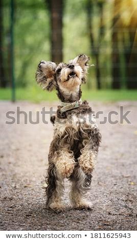 Schnauzer em pé dois pernas olhando cão Foto stock © stockyimages