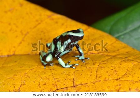 Green and Black Poison Dart Frog Stock photo © macropixel