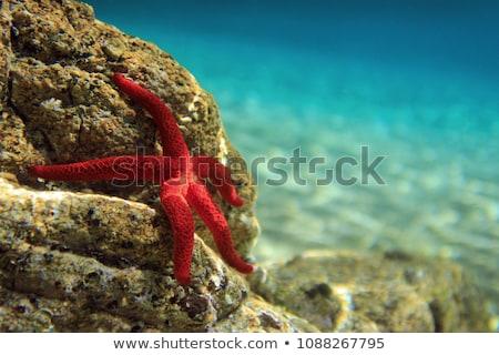 starfish · concha · isolado · branco · peixe · oceano - foto stock © shutswis