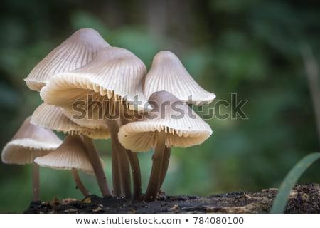 ブラウン · キャップ · ヤマドリタケ属の食菌 · 成長 · 森林 · キノコ - ストックフォト © nobilior