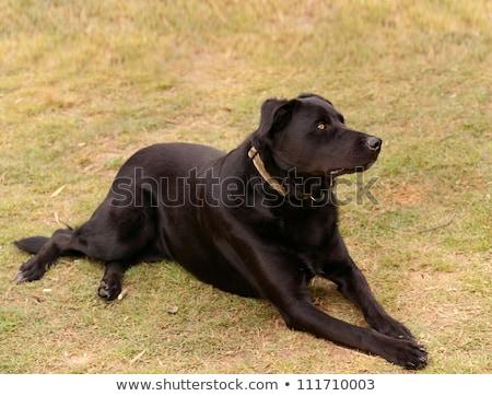 Australian Pure Bred Kelpie Black Dog Stok fotoğraf © Sherjaca