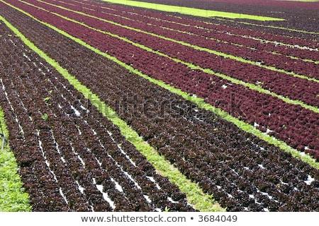 green lettuce country in spain stock photo © lunamarina