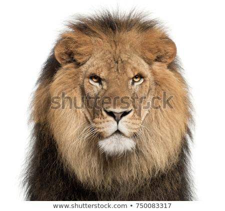 Сток-фото: лев · голову · сепия · лице · волос