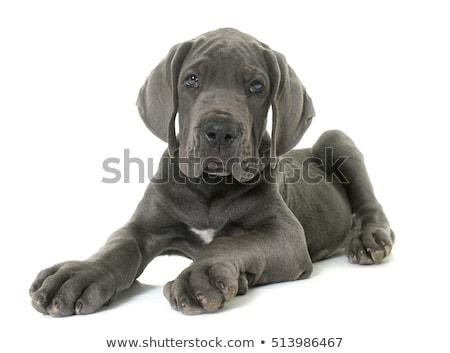 щенков молодые белый посмотреть Сток-фото © c-foto