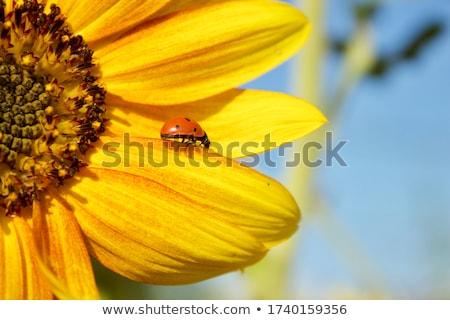 Ladybug · подсолнечника · цветок · красоту · лет · красный - Сток-фото © dgilder