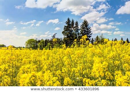 Yellow oilseed rape field under the blue sky with sun  Stock photo © meinzahn