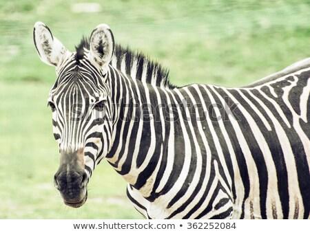山 · シマウマ · シマウマ · 南アフリカ · 公園 - ストックフォト © dirkr