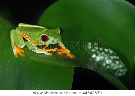Baby Red Eyed Tree Frog on Red Leaves Stock photo © jeffmcgraw