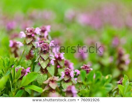 Paars bloemen groeiend bos mooie voorjaar Stockfoto © hraska