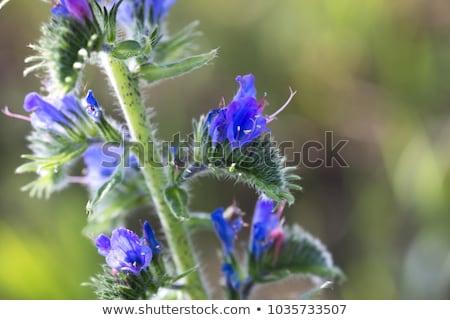 Echium vulgare flower Stock photo © haraldmuc