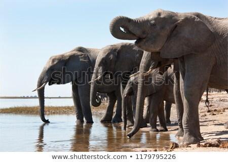 Stock fotó: Elefánt · iszik · park · Dél-Afrika · háttér · utazás
