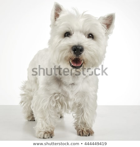 west highland white terrier studio shoot stock photo © vauvau