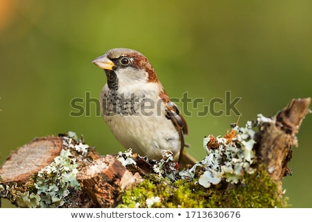 House Sparrow Detail stock photo © azamshah72