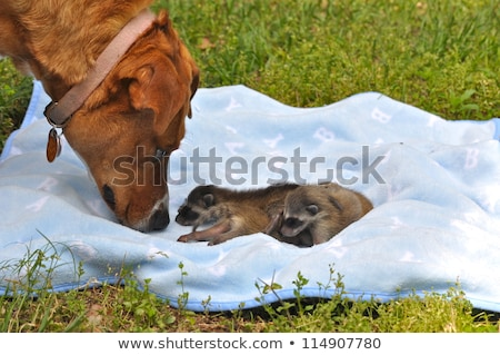 Sniffing Raccoon