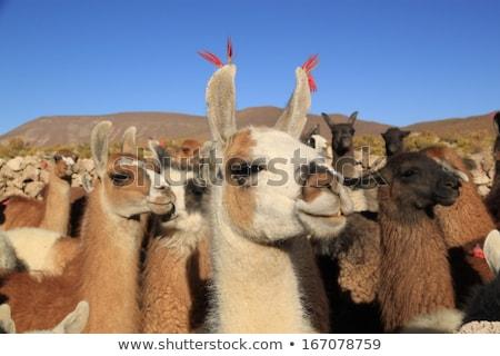 nyáj · Bolívia · park · tájkép · haj · hegy - stock fotó © daboost