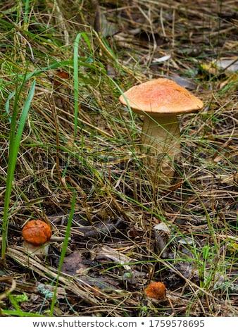 two big leccinum mushroom grows stock photo © romvo
