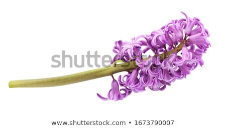 ピンク バイオレット 花 緑 庭園 ストックフォト © neirfy