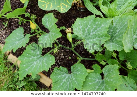 Long cucurbit vine with multiple warted gourds growing Stock photo © sarahdoow