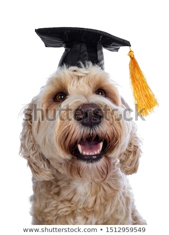 Head shot Labradoodle graduation on white Stock photo © CatchyImages