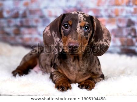 izolált · női · portré · barna · tacskó · európai - stock fotó © vauvau