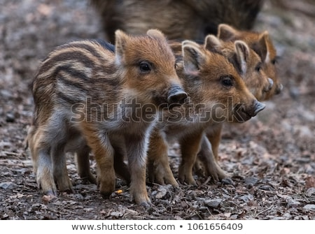 Wild boar in zoo Stock photo © olira
