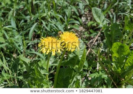 dois · abelhas · dandelion · flor · primavera · natureza - foto stock © ansonstock