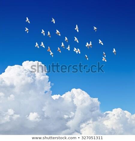 Bianco piccione blu simbolo pace isolato Foto d'archivio © X-etra