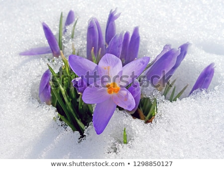 violet flowers of a crocus in ice stock photo © g215