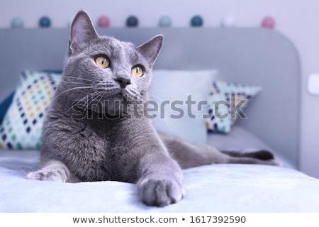 ストックフォト: 肖像 · ロシア · 青 · 猫 · 演奏 · ボール